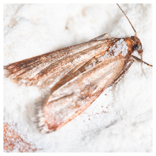 Flour and Pantry Moths
