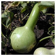 Gourd Seeds