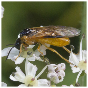Hymenoptera - Sawflies and Horntails
