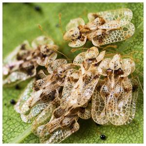 Lace Bugs