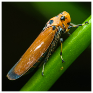 Leafhoppers & Planthoppers