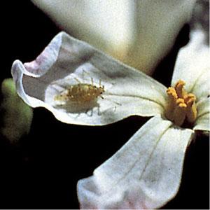 Aphidoletes aphidimyza