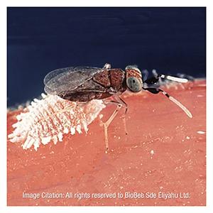 Mealybug Parasite, Anagyrus pseudococci