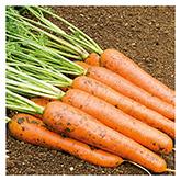 Territorial Seeds - Rodelika Carrot