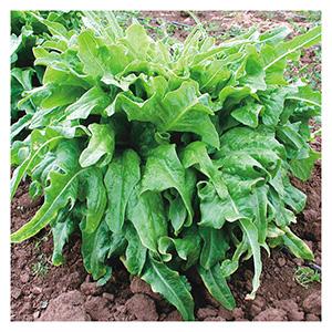 Territorial Seeds - Italienischer Lettuce