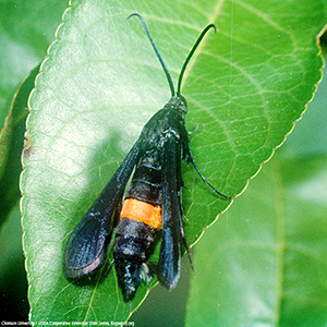 Scentry Lures - Clearwing Peachtree Borer