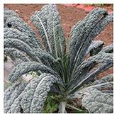 Territorial Seeds - Nero Di Toscana Kale