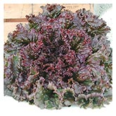 Territorial Seeds - Red Sails Lettuce