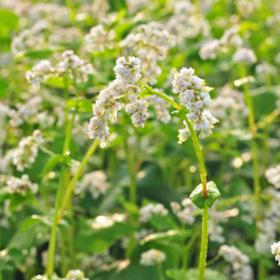 The Virtues of Buckwheat