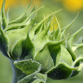 "Sunflower ""Artichokes"""