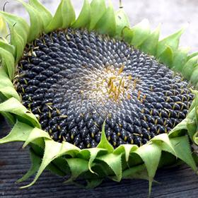 Sunflower Seeds in the Kitchen