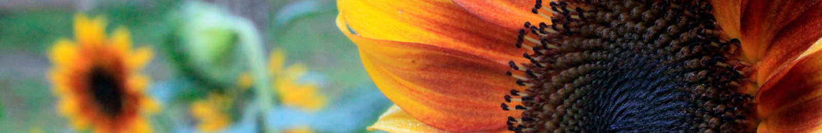 Sunflower: Sow and Grow Guide