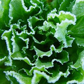 Overwintering Vegetables