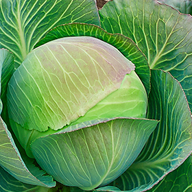 Cabbage: Sow and Grow Guide