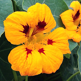 Nasturtium: Sow and Grow Guide