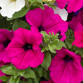 Petunia: Sow and Grow Guide