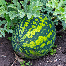 Watermelon: Sow and Grow Guide