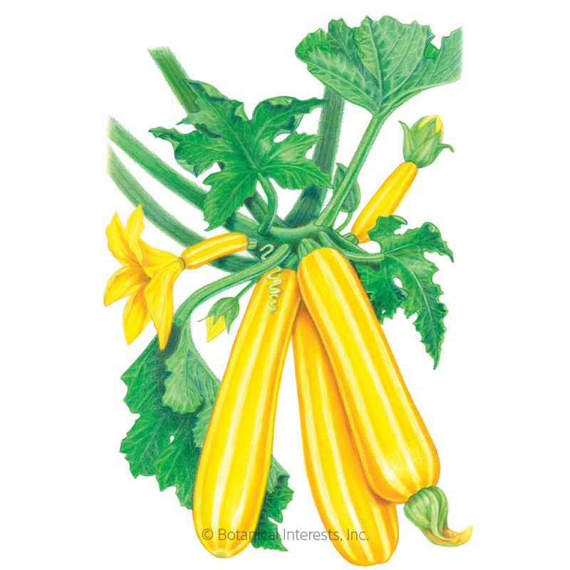 Sunstripe Summer Squash Seeds - Online Exclusive