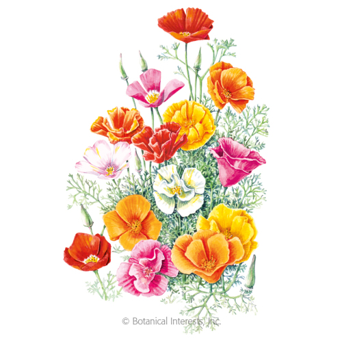 Mission Bells California Poppy Seeds     - New Size