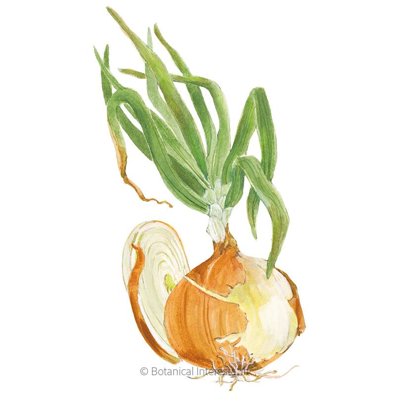 Gabriella Bulb Onion Seeds