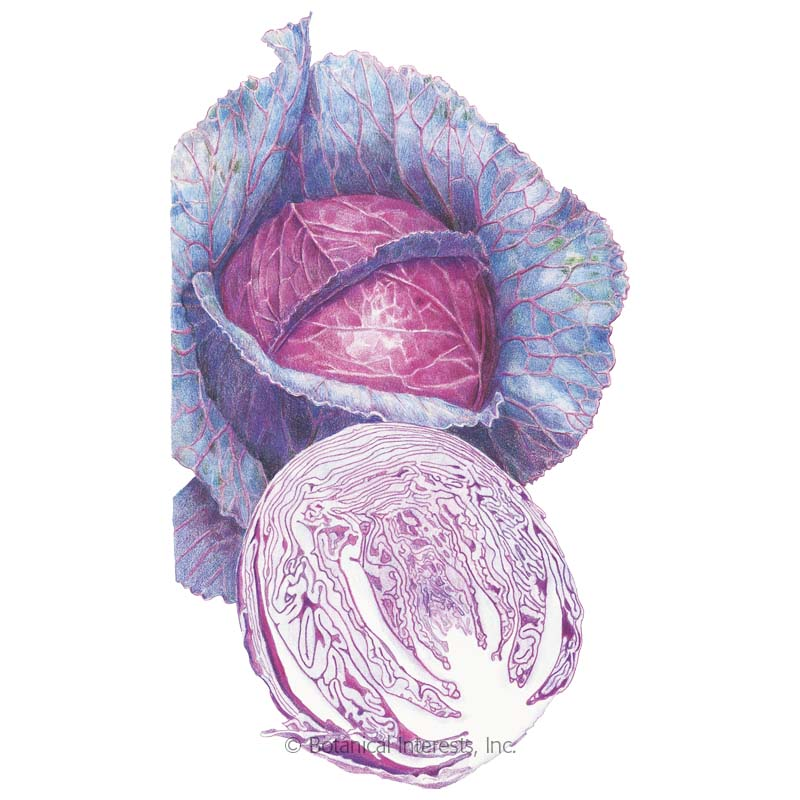 Red Acre Cabbage Seeds - New Organic