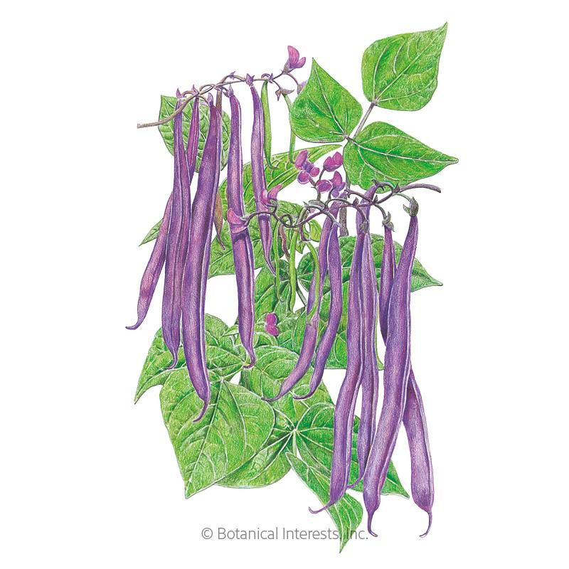 Royal Burgundy Bush Bean Seeds