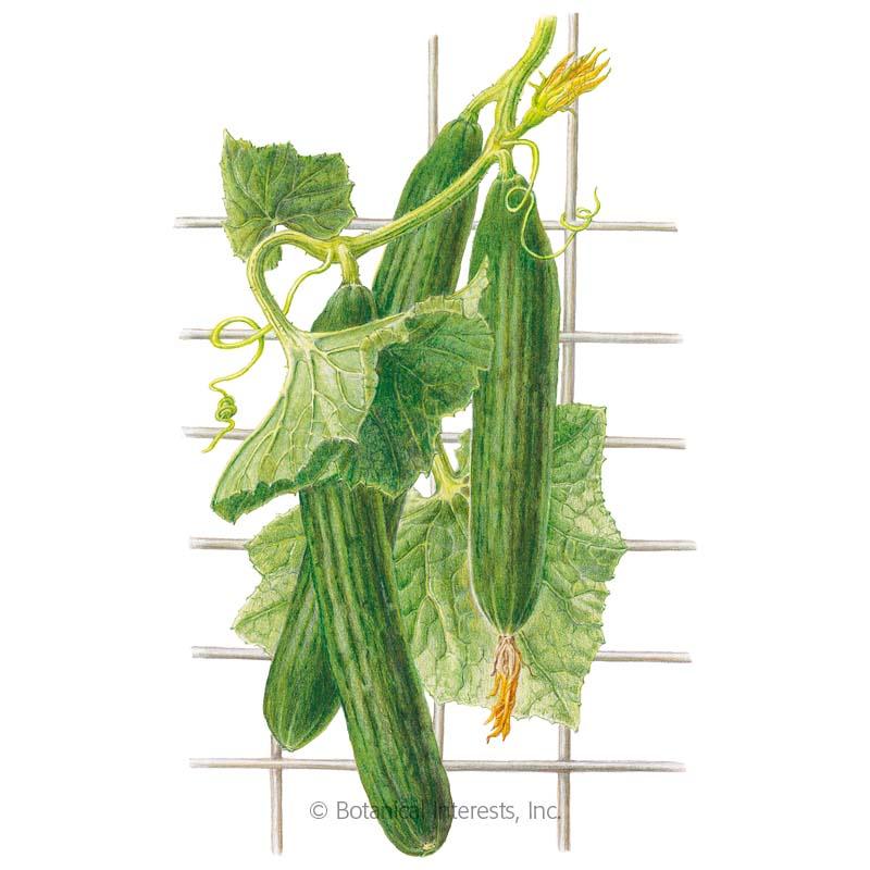 Telegraph Improved Cucumber Seeds