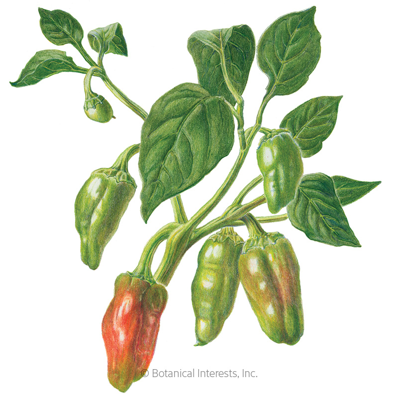 Padrón Chile Pepper Seeds - Online Exclusive