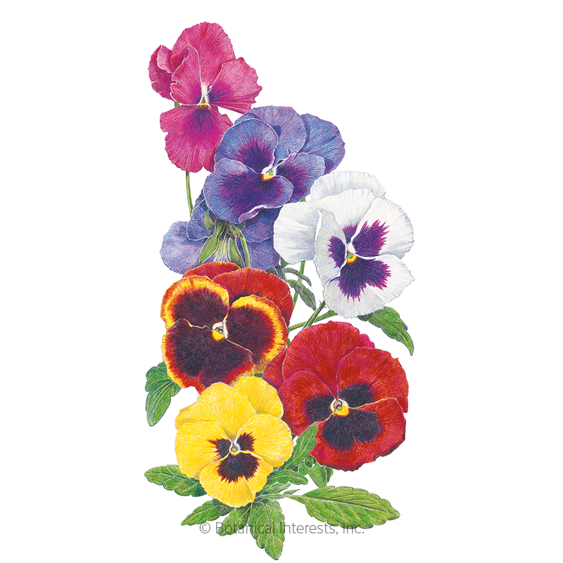 Swiss Giants Blend Pansy Seeds