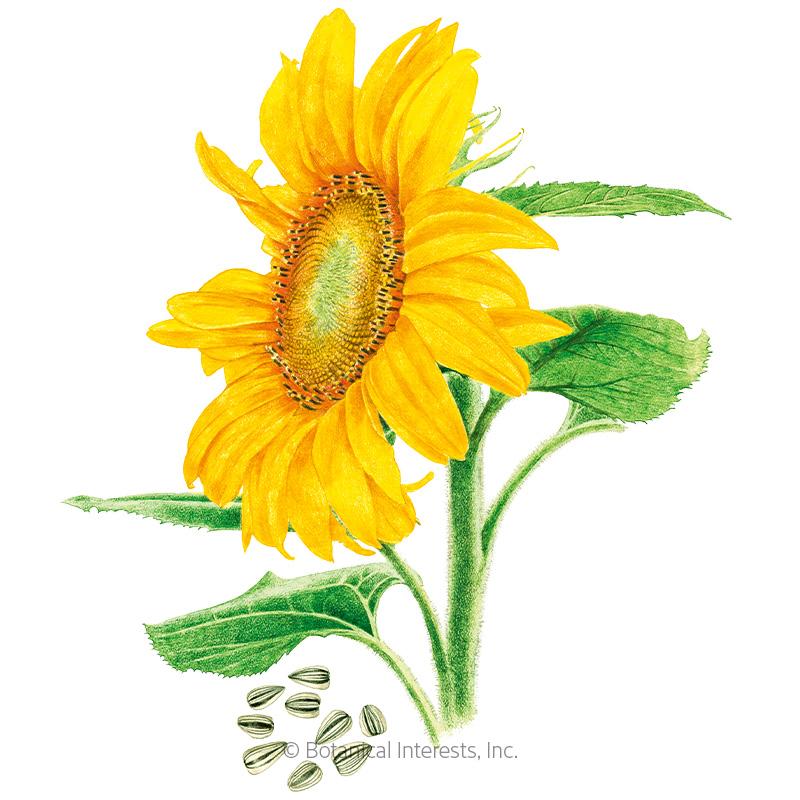 Mammoth Sunflower Seeds