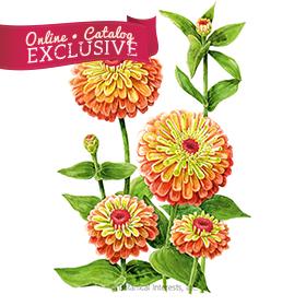 Queeny Lime Orange Zinnia Seeds - Online Exclusive