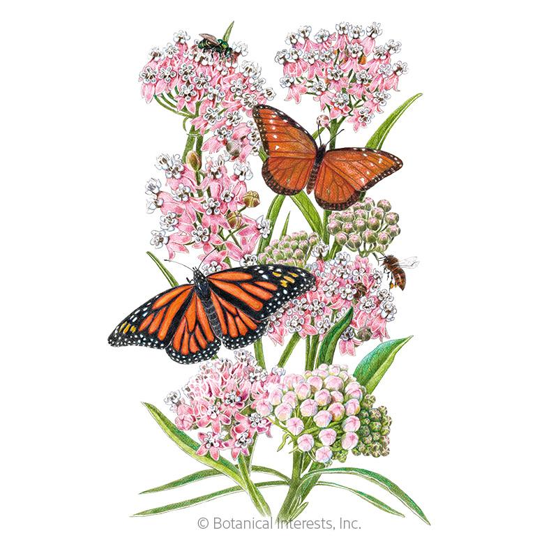 Narrowleaf Milkweed/Butterfly Flower Seeds - New