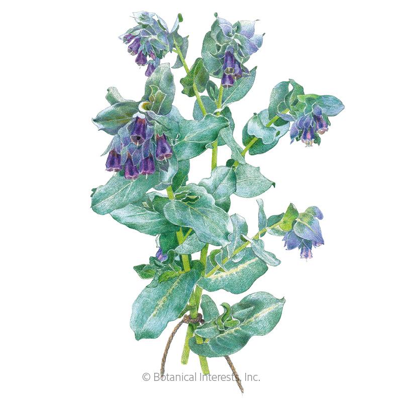Purple Tear Honeywort Seeds