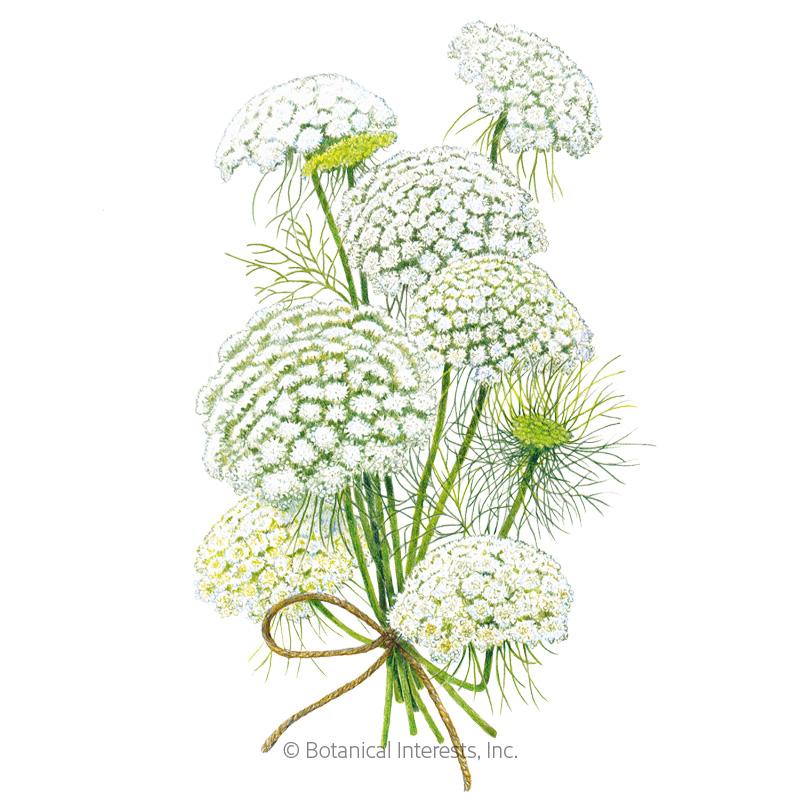 Green Mist Ammi Seeds