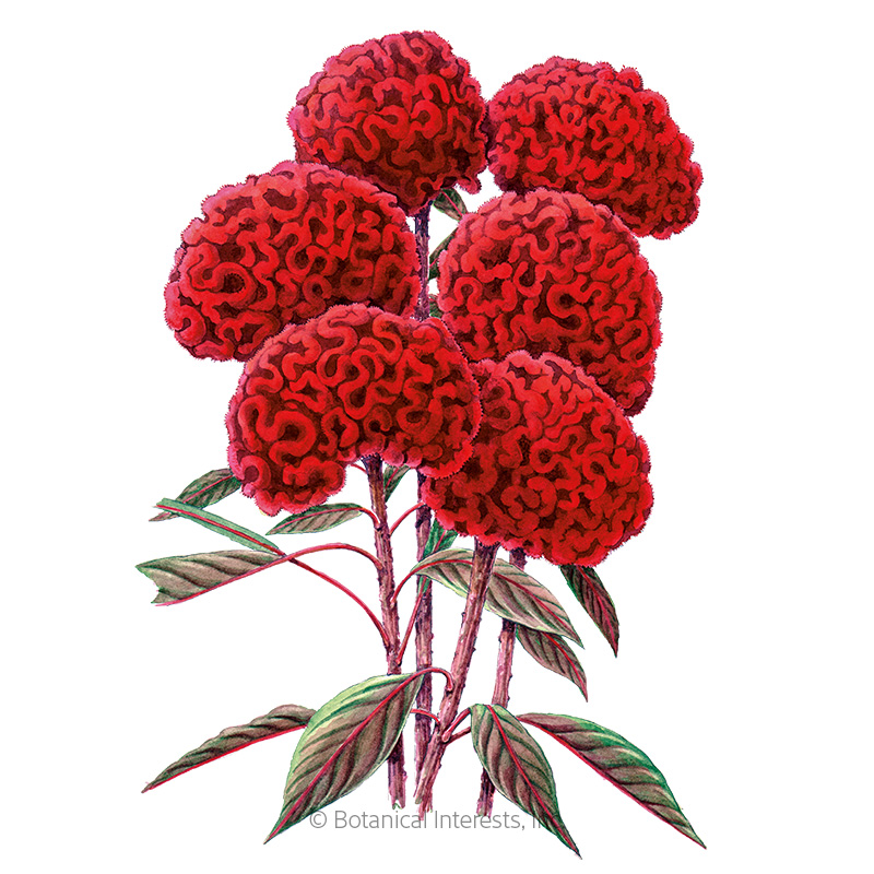 Chief Red Flame Celosia Seeds