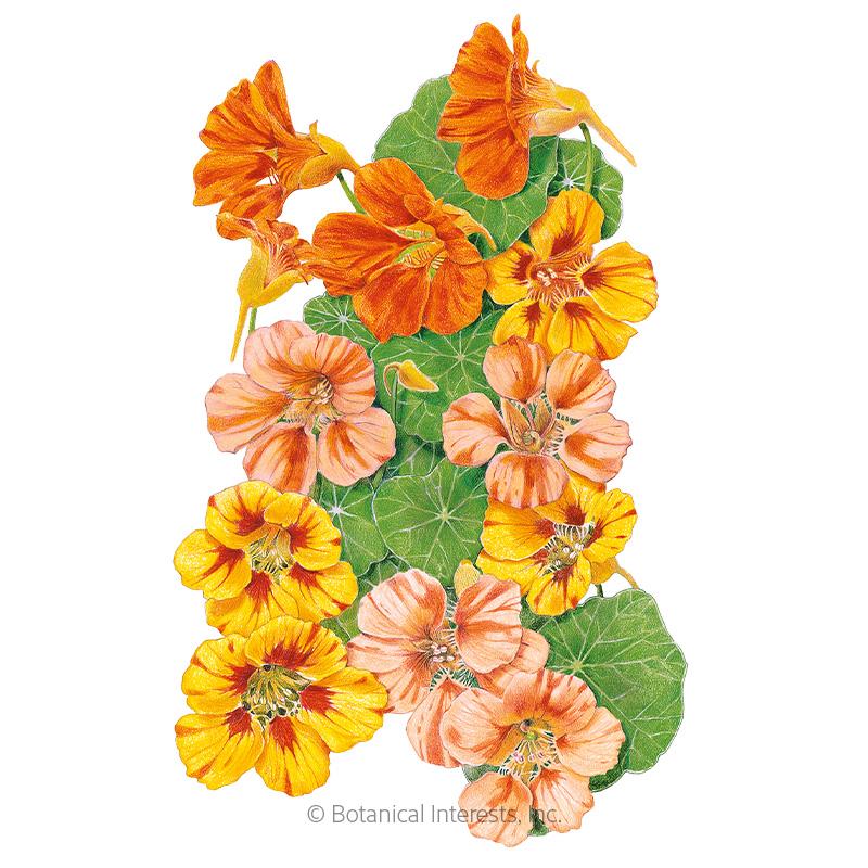 Fiesta Blend Nasturtium Seeds
