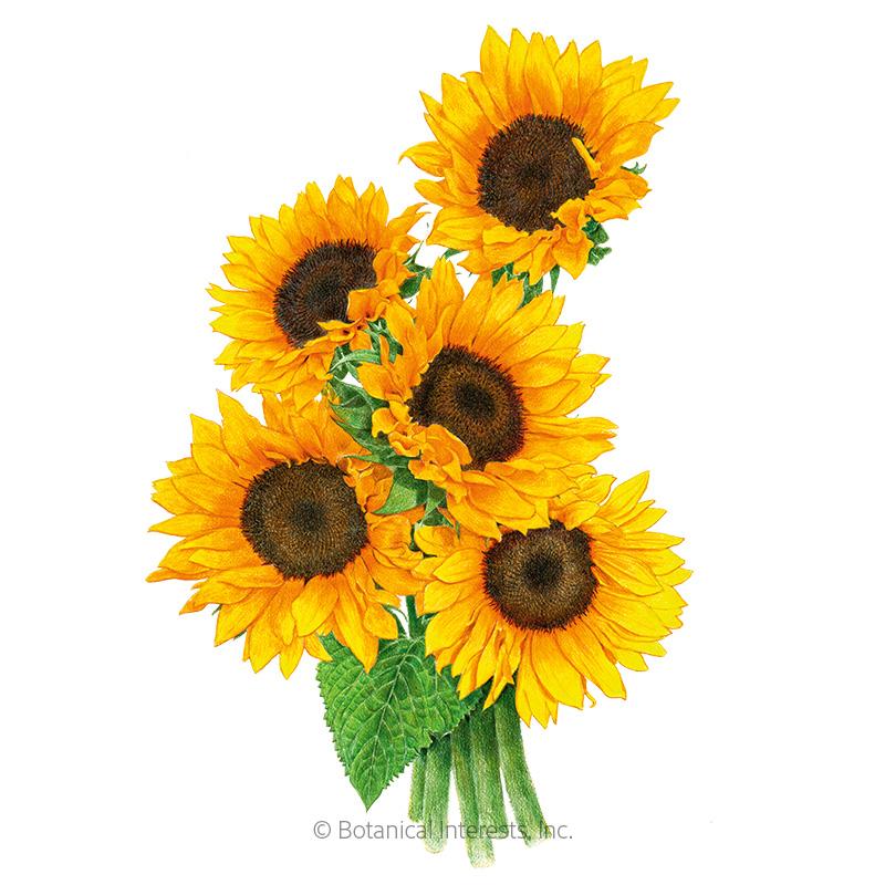 Zohar Sunflower Seeds