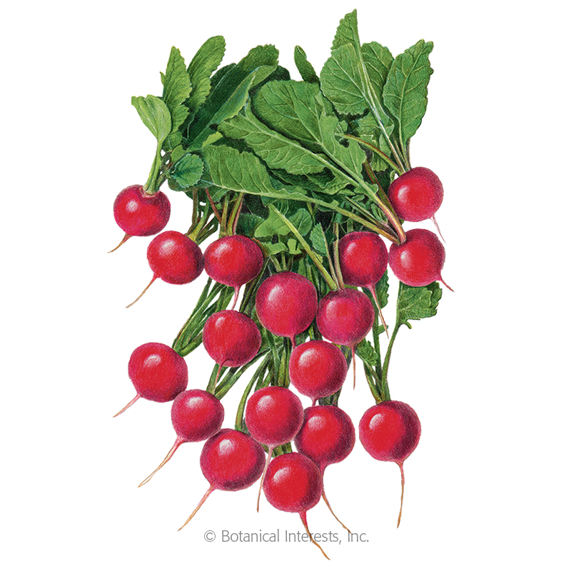 Rudolf Radish Seeds