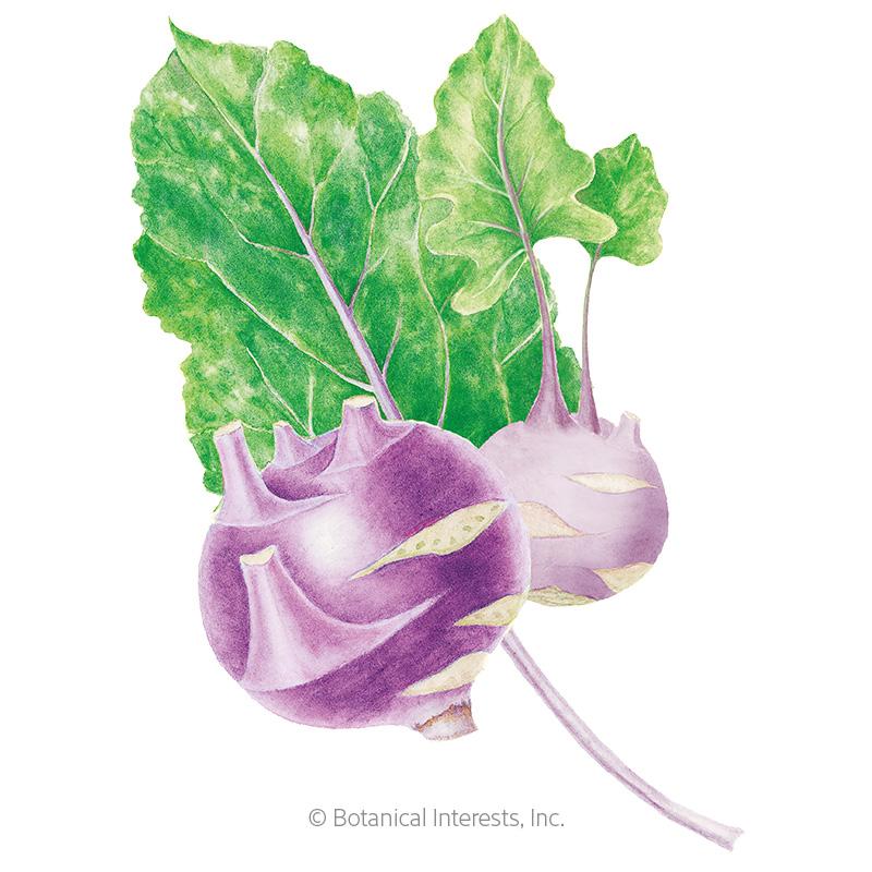 Purple Vienna Kohlrabi Seeds