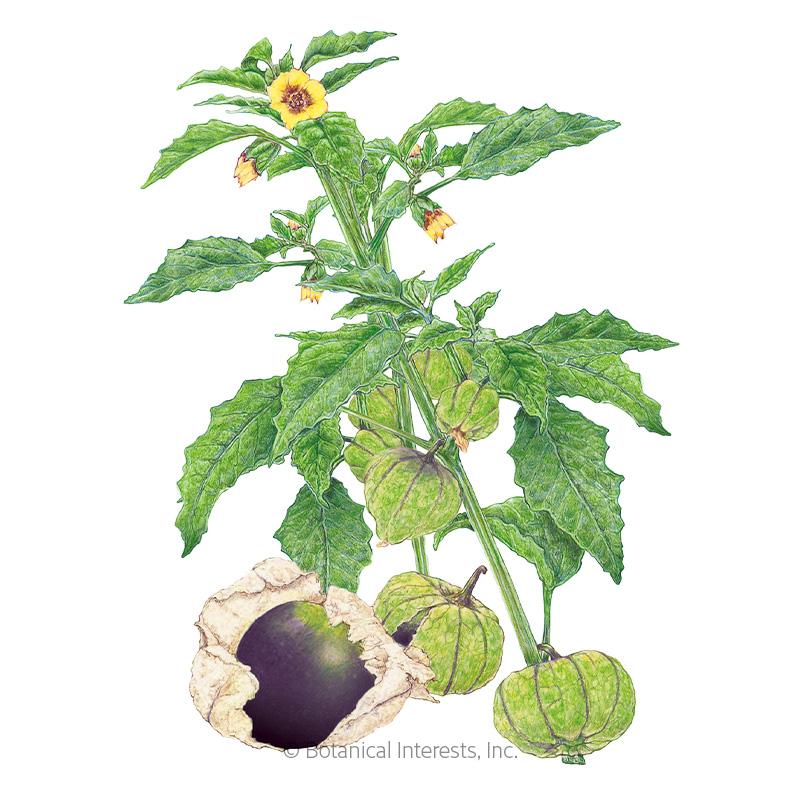 Purple Tomatillo Seeds - New