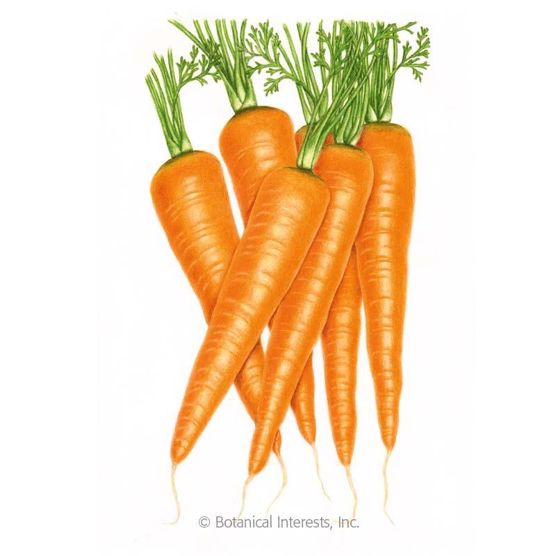 Danvers 126 Carrot Seeds