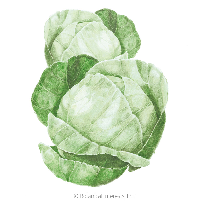 Copenhagen Market Cabbage Seeds