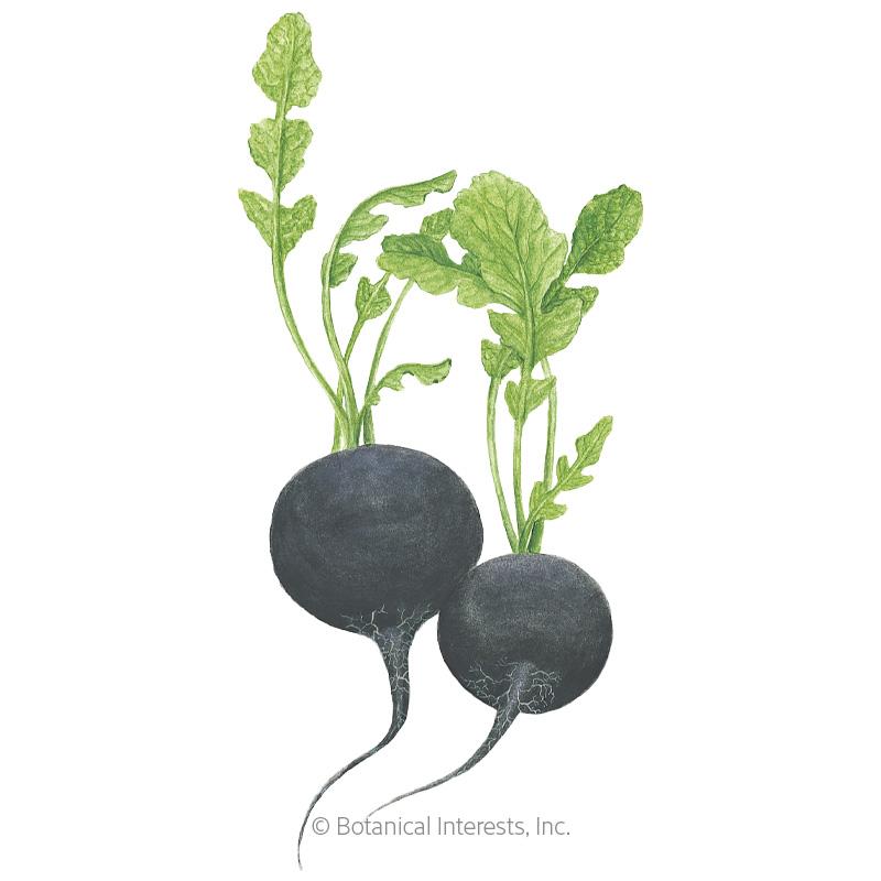 Round Black Spanish Radish Seeds