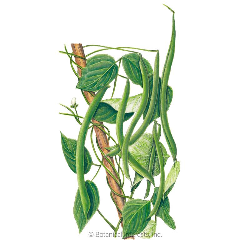 Kentucky Wonder Pole Bean Seeds