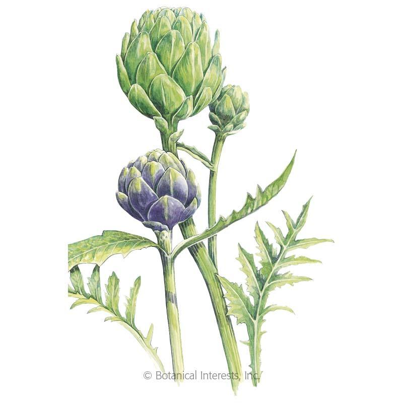 Green Globe Improved & Purple of Romagna Artichoke Seeds