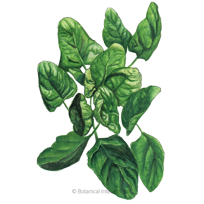 Lavewa Spinach Seeds