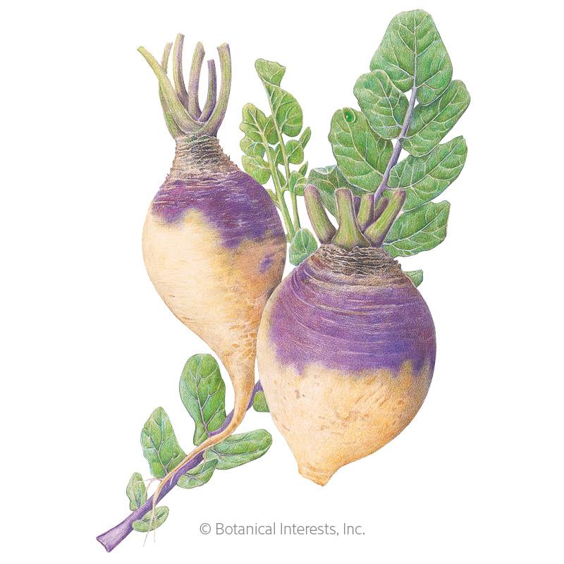 American Purple Top Rutabaga Seeds