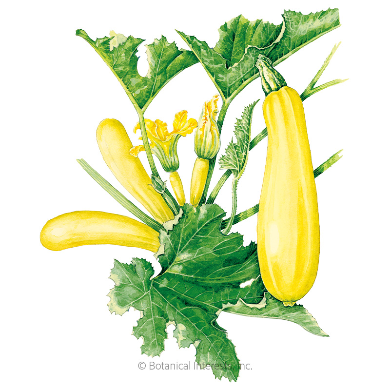 Cube of Butter Summer Squash Seeds