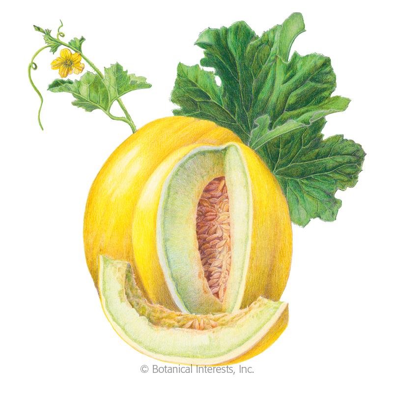 Canary Tweety Melon Seeds