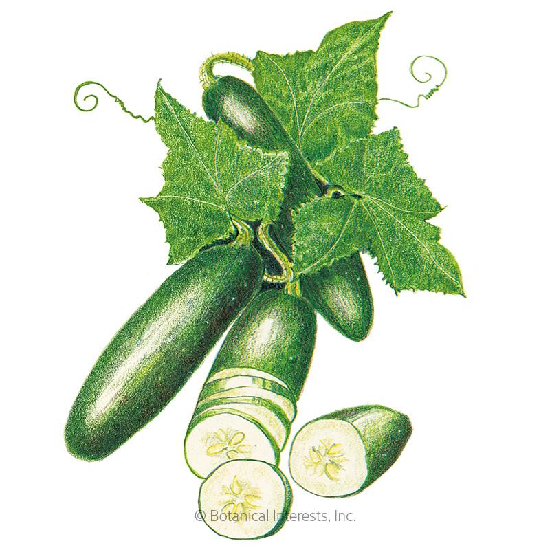 Poinsett 76 Cucumber Seeds